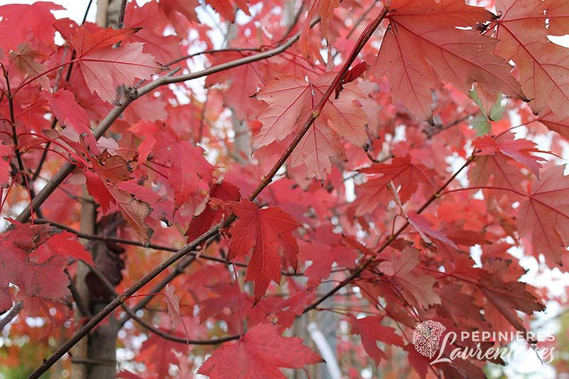 Acer freemani 'Autumn Blaze'®