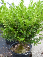 Buxus sempervirens 'Suffructicosa'