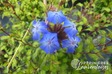 Ceratostigma willmottianum select