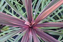 Cordyline 'Can can' ®