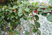 Cotoneaster dammeri 'Frieders Evergreen'