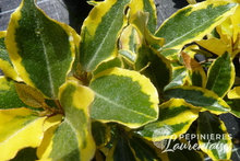 Eleagnus x ebbengei 'Gilt Edge'