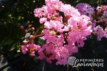 Lagerstroemia 'Rose Indien'