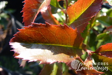 Photinia x fraseri 'Magical Vulcano' ®