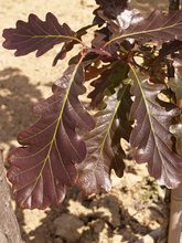 Quercus sessilis 'Purpurea'