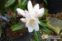 Rhododendron hybrides