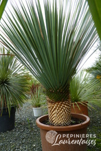 Yucca rostrata 'Blue Selection'