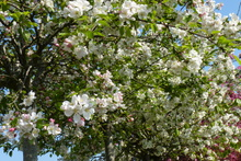 Malus 'Everest' ®