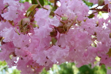 Lagerstroemia 'Rose Thé'