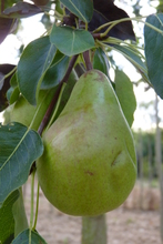 Poire 'Williams Duchesse'