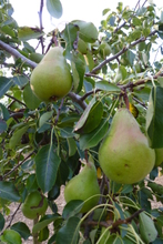 Poire 'William Duchesse'