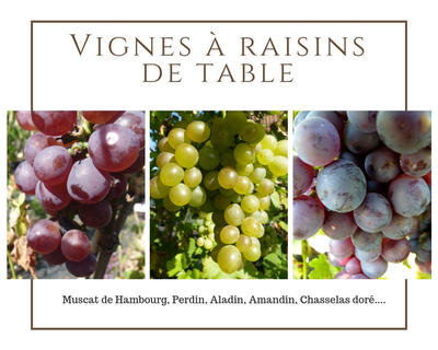 Vignes à raisins de table